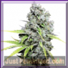 Dutch Passion CBD Skunk Haze Fem 5 Weed Seeds